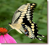 Giant Swallowtail Butterfly Pricing