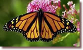 Monarch Butterfly Pricing