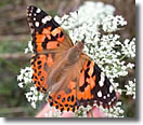 Painted Lady Butterfly Pricing